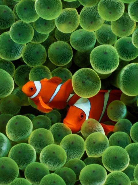 Pesti de recif portocali
