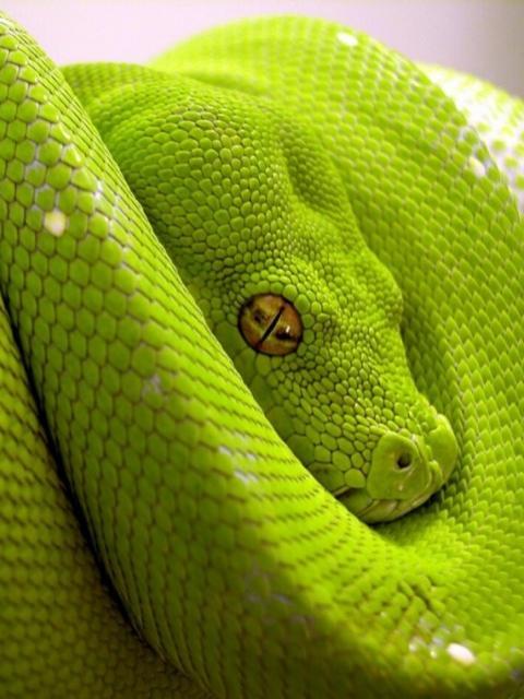 Sarpe tropical verde