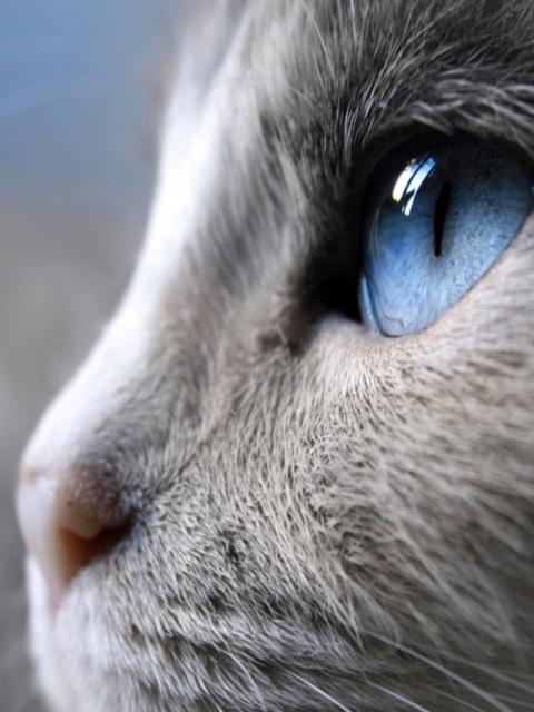 Ochi de pisica albastru